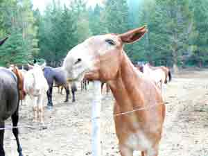 Mule scratches an itch. The ranch uses their 18 mules for packtrips into the Bob Marshall Wilderness.