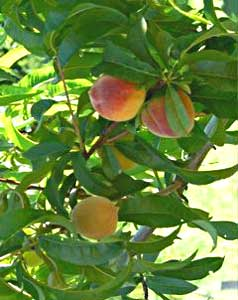 Peaches in season
