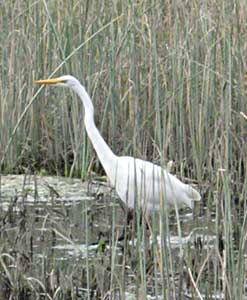 A very easy bird for the beginning birder in West Marin: a big white bird is probably a Great Egret!