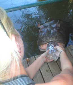 Feeding a teenage hippo named Jessica - photos by Lucy Corne