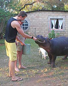 Feeding Jessica the teenage hippo in Limpopo, South Africa