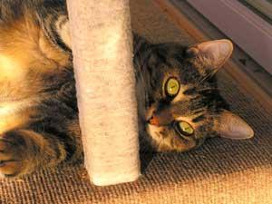 A Manx cat