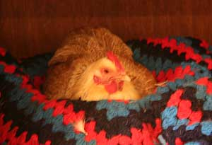 A hen makes herself comfortable in a cat bed.