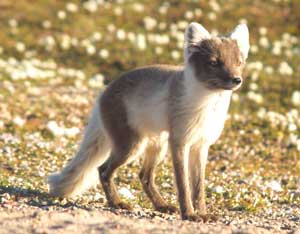 An adult Arctic fox