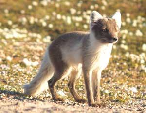 An adult Arctic fox