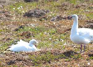 Male and female Snow geese