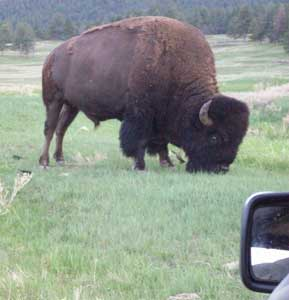 Up close and personal with a buffalo from the relative safety of a jeep. (Note the side mirror.)