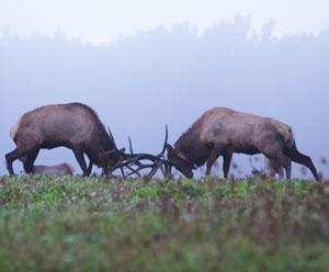 Two bull elk lock horns during Pennsylvania's elk rut - photos by Phil Burkhouse