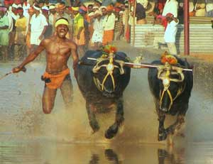 Kambala is held in Udupi and Mangalore districts of Karnataka