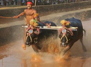 Water buffalo racing in Karnataka, India