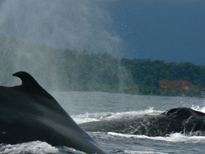 Humpback whales make an appearance each summer, breeding in the warm Pacific waters before returning to the Antarctic.