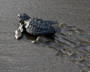 A baby turtle on its way to the sea in Bahia Salano, Colombia.