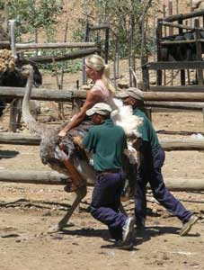 A brave participant goes for an ostrich ride. Oudtshoorn, South Africa. Photos by Carly Blatt