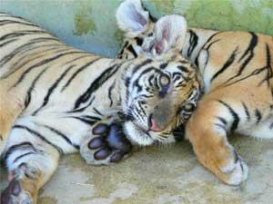 The Tiger Kingdom near Chiang Mai