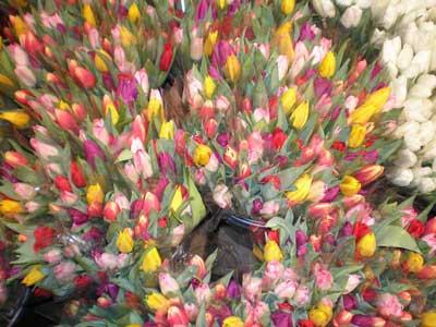 Tulips in Stockholm
