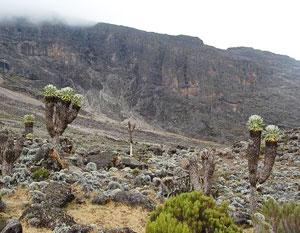 Senecio Kilimanjari trees