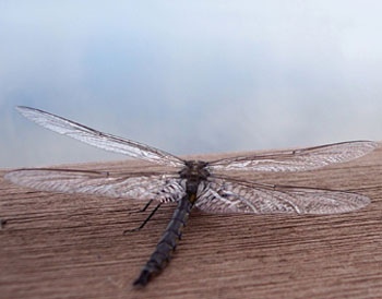 A dragonflyon the dock