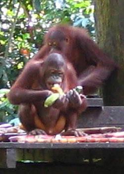 Orphaned orangutans tuck into bananas and cane at the Sepilok Rehabilitation Centre, near Kinabatangan