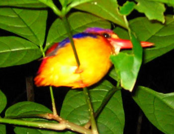 A kingfisher asleep on a branch during the jungle night trek