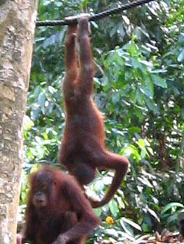 Life's more fun upside down. Orphaned orangutans at feeding time at the Sepilok Rehabilitation Centre, near Kinabatangan. Photos by Michelle Perry.