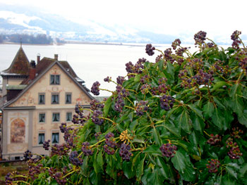 Frozen grapes still on the vine in Rapperswil with Lake Zurich in the distance