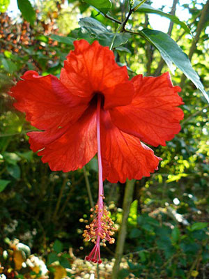 Red Hibiscius beckons from outside of my bungalow.
