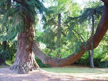 This Douglas fir was sent from America as a seedling by David Douglas himself.