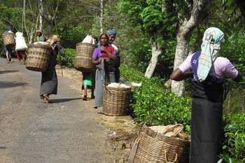 Tea pickers with their baskets