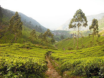 A tea plantation in Sri Lanka