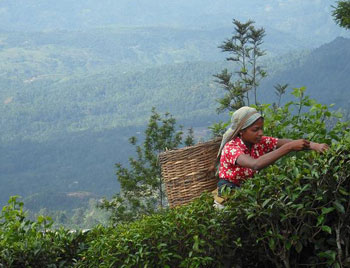 Tea bushes grow on improbably vertiginous slopes in Sri Lanka.