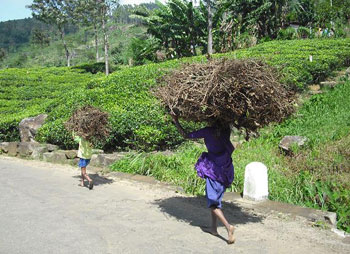 Carrying firewood  in Sri Lanka