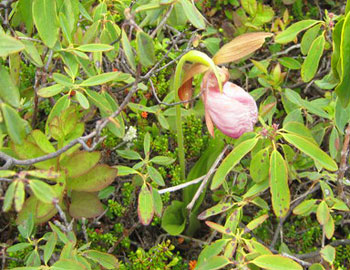The Lady Slipper is a rare species and cannot regenerate itself unless its blossoming cycle is complete, so do not pick it! They're very hard to find, but they line the Sugarloaf Path.