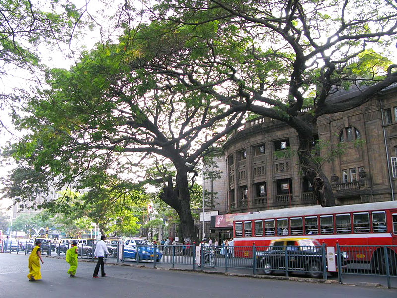 At the Prince of Wales Museum roundabout in the center of Colaba, an enormous rain tree sprawls out over the street.