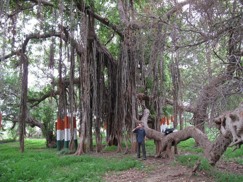 Kabir's Vad – A Banyan Tree in Gujarat