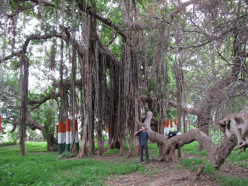 Kabir's Vad – A Banyan Tree in Gujarat