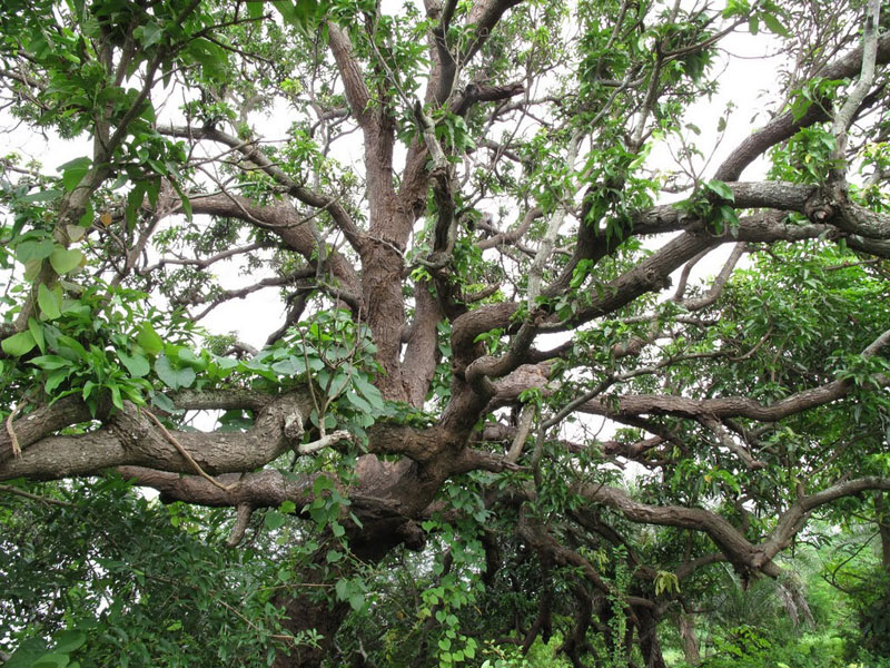 Chalto Ambo, the Walking Mango tree in Sanjan