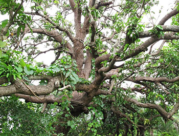 After a bit of asking in Sanjan, we get someone to help us find Chalto Ambo, or the Walking Mango tree.