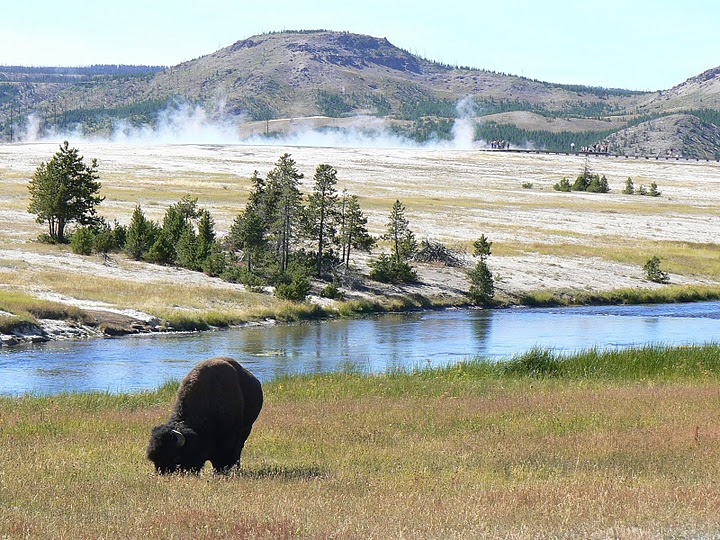 Bison in Yellowstone National Park.