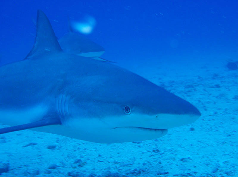 Swimming With Sharks on St. Maarten
