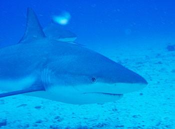 A blacktip reef shark in St. Maarten