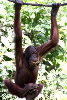 Orangutan in Borneo. photos by Beth Abrahams