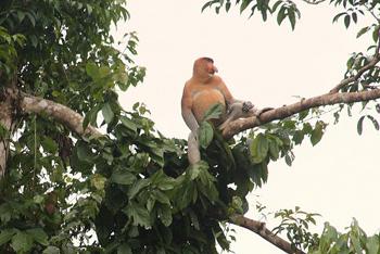 Probiscus monkey.