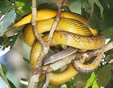 Grey tailed racer snake in a tree in Borneo