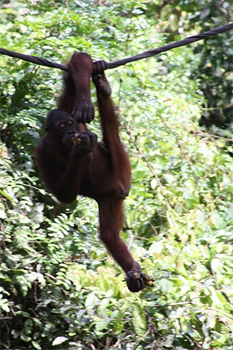 Orangutan on a rope bridge.