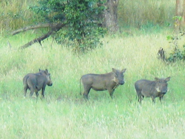 Warthogs welcome in Botswana. photo by Danielle Gerard.