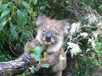 Koala on the Great Ocean Walk, Victoria Australia.