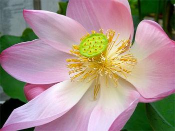 Lotus blossum in Thailand.