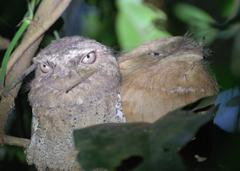 A pair of Sri Lankan frogmouths