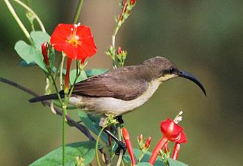 Female Lotens sunbird