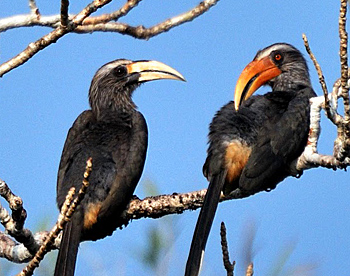 A pair of Malabar gray hornbills